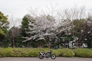 201303sakura.JPG